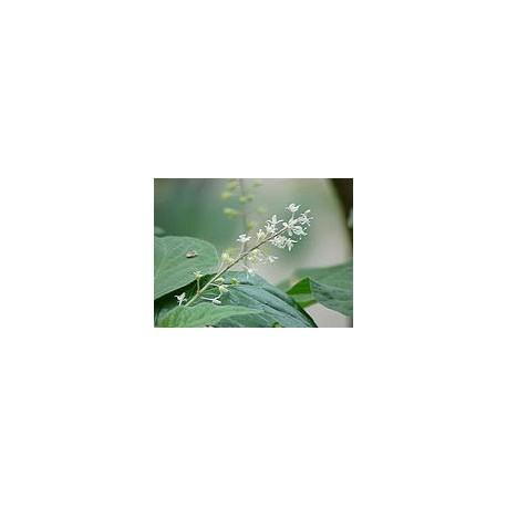 Pačiulių eterinis aliejus (Pogostemon Cablin)