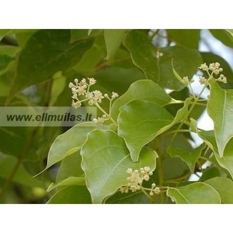 Kamparo eterinis aliejus (Cinnamomum camphora) 5ml