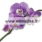 Orhidėja  kvapusis aliejus 10/30ml