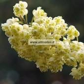 Laurenių japoninių eterinis aliejus (Litsea cubeba) 5/10ml