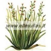 Palmarozų / citrinžolių imbierinių eterinis aliejus (Cymbopogon martinii) 5/10ml