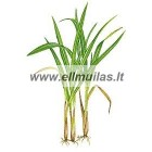 Citrinžolių 100ml eterinis aliejus (Cymbopogon flexuosus)