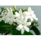 Jazminaičių vaškas 10g (Jasminum grandiflorum)