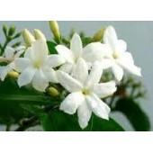 Jazminaičių vaškas 5g (Jasminum grandiflorum)
