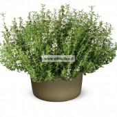 Čiobrelių eterinis aliejus (Thymus vulgaris) 10ml