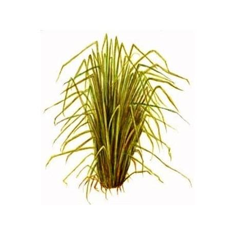 Vetiverijų eterinis aliejus (Vetiveria zizanoides)