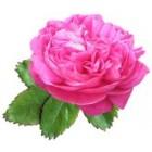 Damaskinių rožių absoliutas(Rosa damascena) 1ml