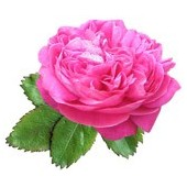 Damaskinių rožių absoliutas(Rosa damascena)