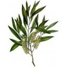 Arbatmedžių eterinis aliejus (Melaleuca Alternifolia) 10ml