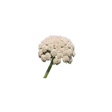 Morkų sėklų eterinis aliejus (Daucus carota) 3/5ml