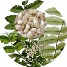 Frankincenso/smilkalinių bosvelijų ( Boswellia carterii) 5ml