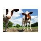 Pieno milteliai 100g/1kg