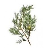 Kiparisų eterinis aliejus  (Cupressus sempervirens)
