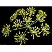 Pankolių eterinis aliejus (Foeniculum vulgare)